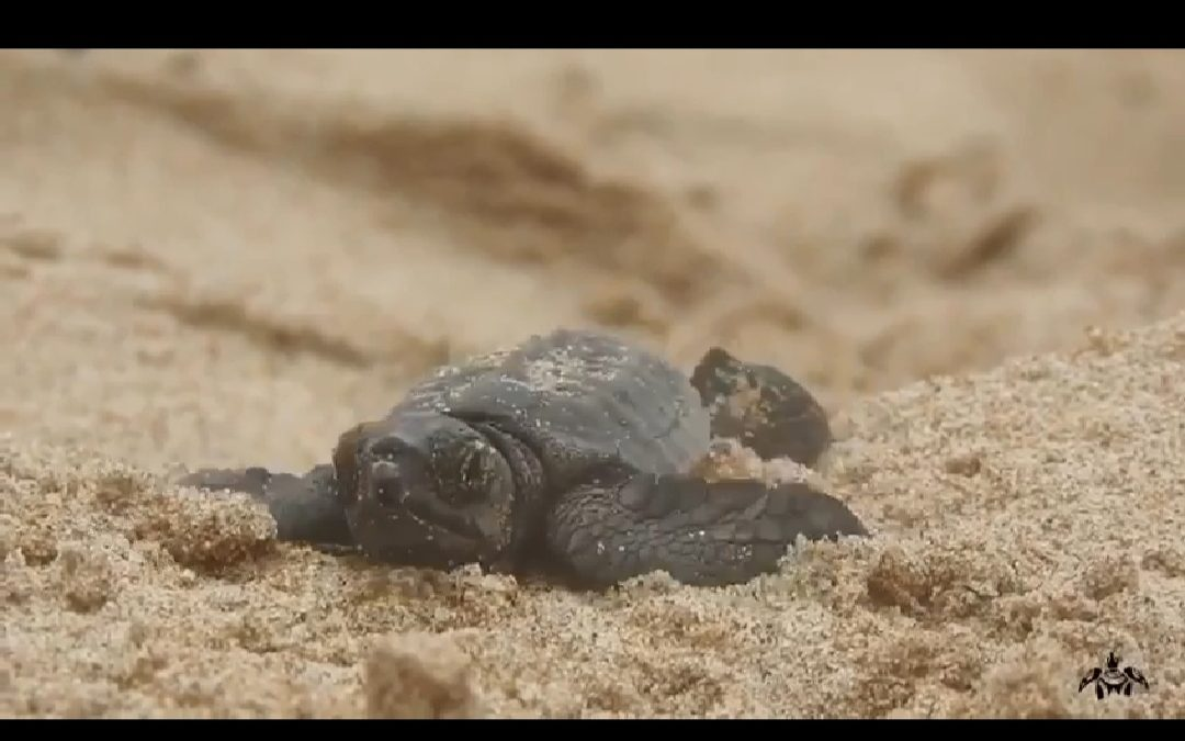 Campaign for detection of loggerhead turtle nests in Spain