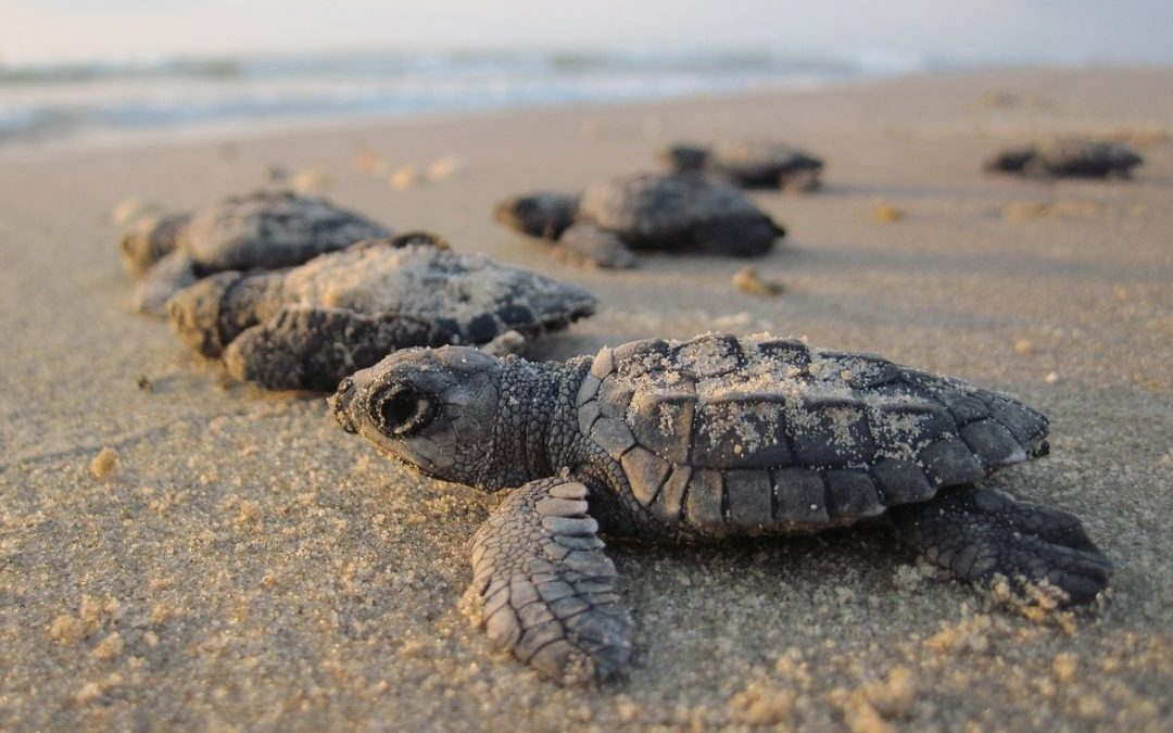 First record of a nesting activity of a Green Sea Turtle in Tunisia.