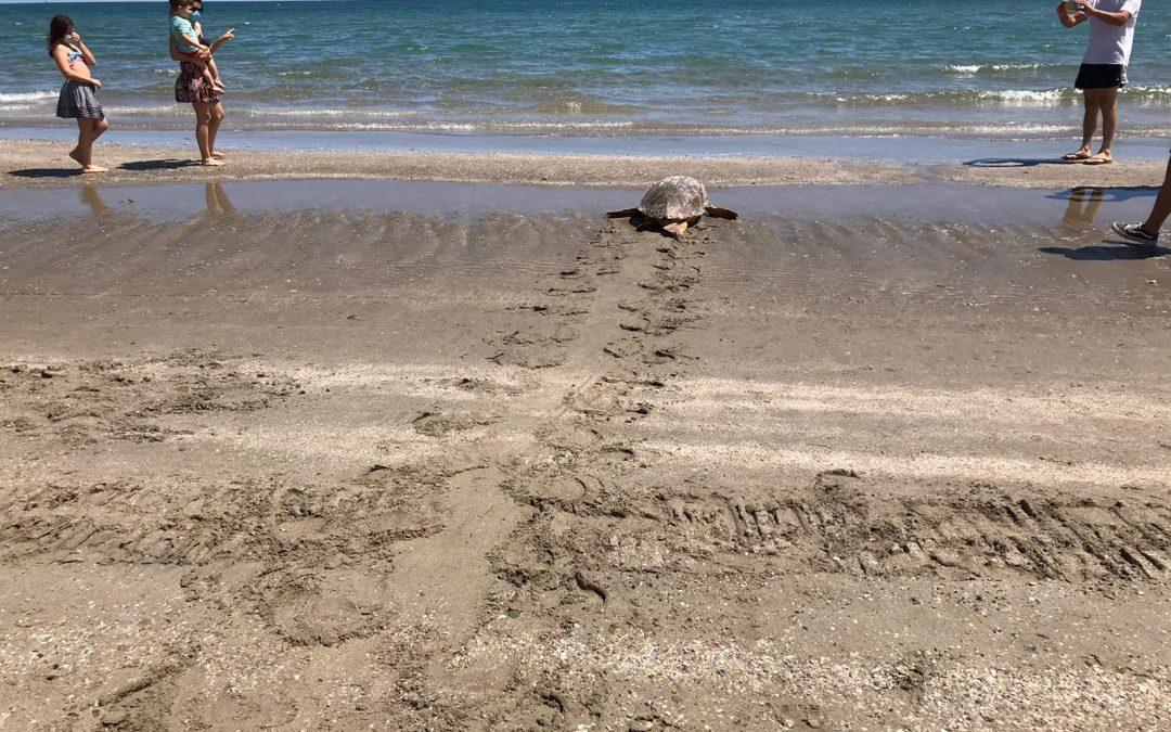 Loggerhead sea turtle adult female released at Riccione's beach