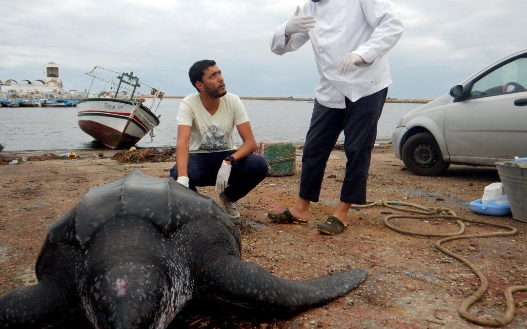 Dermochelys coriacea captured accidentally in Kerkennah Island (Tunisia)