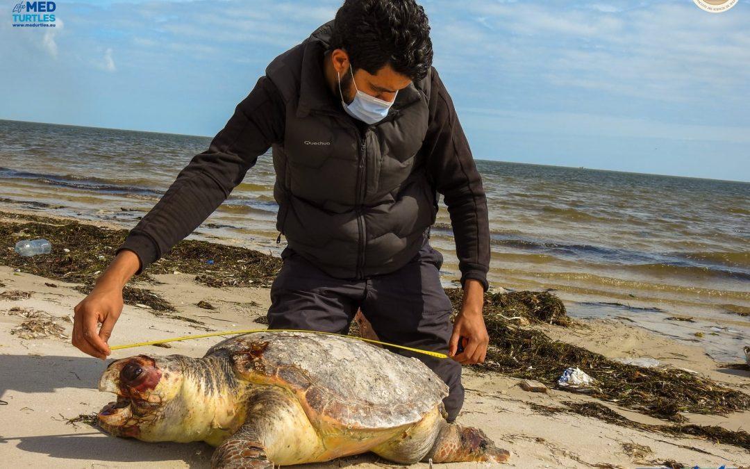 Stranded of loggerhead sea turtles in Tunisia