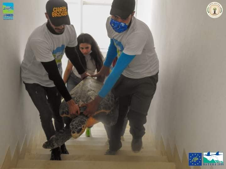 Sayda, the firts sea turtles recovered at the new first aid center of Sfax (Tunisia)
