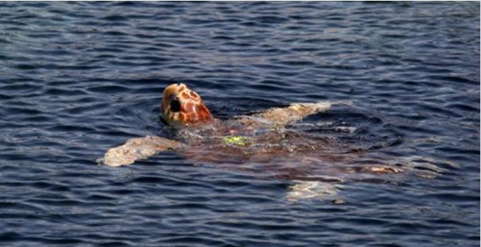 Mediterraneo, tartarughe marine a rischio: al via un progetto europeo per tutelarle