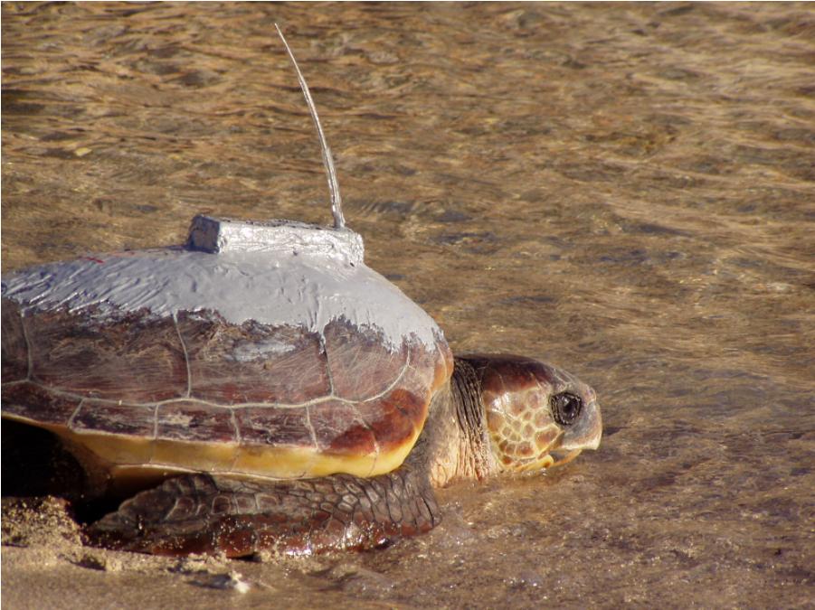 SOS tartarughe nel Mediterraneo: al via progetto europeo per proteggerle
