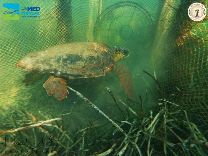 Rescue of a loggerhead turtle by a fisherman who regularly collaborates with the Life Medturtles team in  Kerkennah Island (Tunisia)